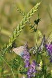 Schmetterling und Weizen Stockfotografie