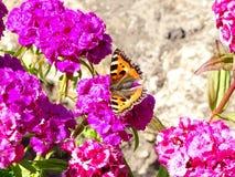 Schmetterling Urticaria in der türkischen Gartennelke der Blumen stockfotos