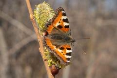 Schmetterling Urticaria lizenzfreie stockfotos