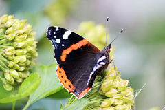 Schmetterling Vanessa-atalanta sitzt an einem Blumensommertag Stockfotografie