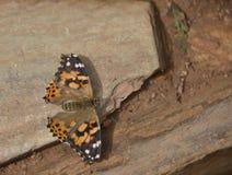 Schmetterling Vanessa cardui Lizenzfreie Stockfotos