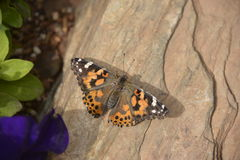 Schmetterling Vanessa cardui Lizenzfreies Stockbild
