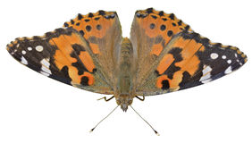Schmetterling (Vanessa-cardui) 13 Lizenzfreies Stockfoto