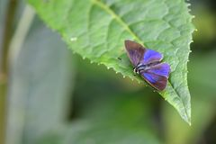 Schmetterling vom Taiwan Stockfoto