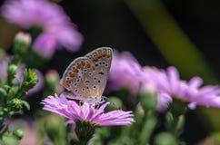 Schmetterling von aricia agestis sammelt Nektar auf einer Knospe von Astra Stockfoto