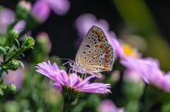 Schmetterling von aricia agestis sammelt Nektar auf einer Knospe von Astra Lizenzfreie Stockfotos