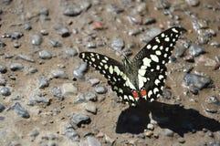 Schmetterling von Oman Lizenzfreies Stockfoto