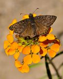 Schmetterling, vulkanischer Nationalpark Lassens lizenzfreies stockfoto