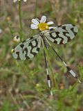 Schmetterling Whit-Schwarzweiss-Flügel im Gras Stockfoto