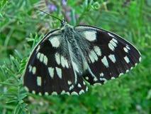Schmetterling Whit-Schwarzweiss-Flügel in tge Gras Lizenzfreie Stockfotos