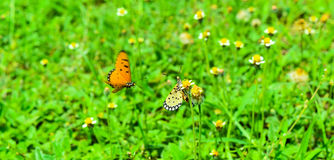 Schmetterling zwei auf dem grünen Feld Stockbild