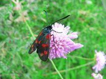 Schmetterling Zygaena-filipendulae auf einer rosa Blume Stockfotografie