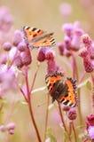 Schmetterlinge auf Blumen Lizenzfreies Stockfoto
