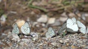 Schmetterlinge auf dem Boden stock footage