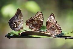 3 Schmetterlinge auf exotischer tropischer Blume, Costa Rica Stockbild