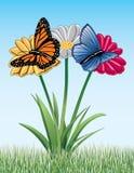 Schmetterlinge auf Gänseblümchen Stockbilder