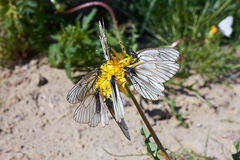 Schmetterlinge auf Löwenzahn Stockbild