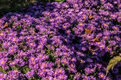 Schmetterlinge auf violetten Blumen Stockbilder