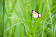 Schmetterlinge benutzt, um den Hintergrund und die Tapete zu machen Butterflie Stockfotografie