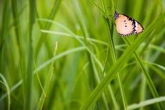 Schmetterlinge benutzt, um den Hintergrund und die Tapete zu machen Butterflie Lizenzfreies Stockbild