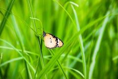 Schmetterlinge benutzt, um den Hintergrund zu machen Lizenzfreie Stockbilder