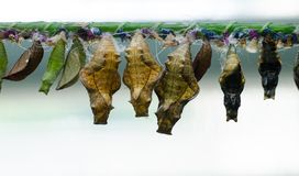 Schmetterlinge bewirtschaften Unterschiedliche Schmetterlingspuppe auf einer Niederlassung lizenzfreie stockbilder