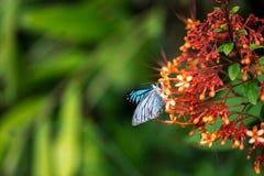 Schmetterlinge (der gemeine Pantomime) und Blumen stockbild