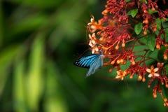 Schmetterlinge (der gemeine Pantomime) und Blumen lizenzfreie stockbilder
