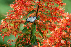 Schmetterlinge (der gemeine Pantomime) und Blumen stockfotos