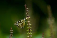 Schmetterlinge (der gemeine Pantomime) und Blumen lizenzfreie stockfotos