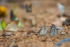 Schmetterlinge (der gestreifte Albatros) einziehend aus den Grund Stockfotografie