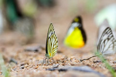 Schmetterlinge (der gestreifte Albatros) und Blumen Lizenzfreie Stockbilder
