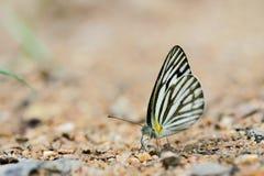 Schmetterlinge (der gestreifte Albatros) und Blumen Stockfoto