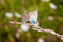 Schmetterlinge in der Natur Lizenzfreie Stockfotografie