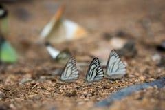 Schmetterlinge (der Schokoladen-Albatros) einziehend aus den Grund Stockbilder