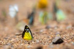 Schmetterlinge (der Schokoladen-Albatros) einziehend aus den Grund Lizenzfreies Stockbild