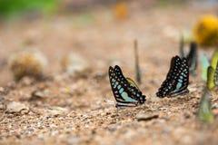 Schmetterlinge (der Schokoladen-Albatros) einziehend aus den Grund Stockfoto
