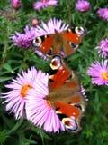 Schmetterlinge des Pfaus mustern das Sitzen auf der Aster Lizenzfreie Stockbilder