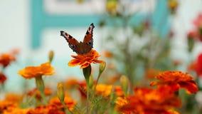 Schmetterlinge, die über rote Gartenblumen fliegen stock footage