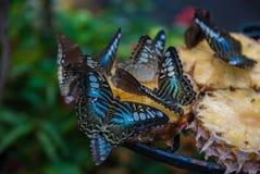Schmetterlinge, die auf Ananasfrucht einziehen Lizenzfreies Stockfoto