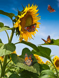 Schmetterlinge auf Sonnenblume Lizenzfreies Stockfoto