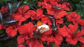 Schmetterlinge, die Nektar von den Blumen im Zoo essen stock footage