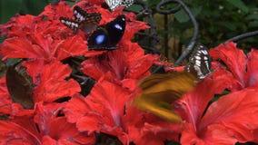 Schmetterlinge, die Nektar von den Blumen im Zoo essen stock video