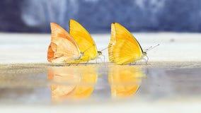 Schmetterlinge erscheinen früh im Sommer Lizenzfreies Stockfoto