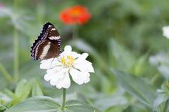 Schmetterlinge im Blumengarten lizenzfreie stockfotos
