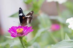 Schmetterlinge im Blumengarten stockfotografie
