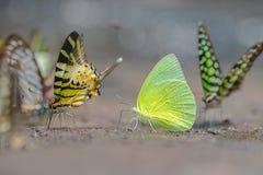 Schmetterlinge im Gartenschmetterling stockbild