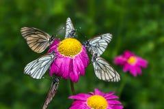 Schmetterlinge mit weißen Flügeln sitzen auf einer Blume Stockfotos