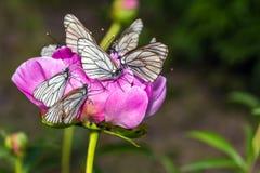 Schmetterlinge mit weißen Flügeln sitzen auf einer Pfingstrosenblume Stockbild