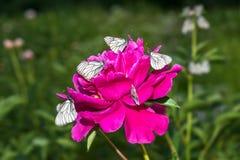 Schmetterlinge mit weißen Flügeln sitzen auf einer Pionsblume Lizenzfreie Stockbilder